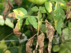 Diseased Tomato Plant 300x225 Plant Disease Prevention in the Vegetable Garden