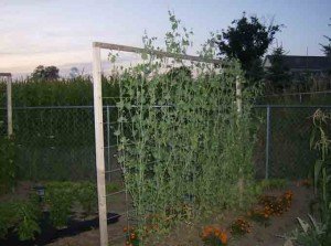 Pea Vines on Trellis 300x223 Vertical Supports for Trellising Vegetables