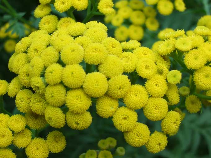 Tansy Flowers Vegetable Gardens Have Flowers Too!
