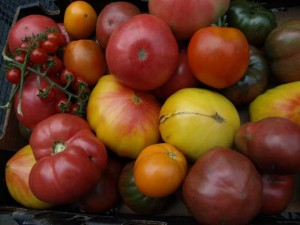 Heirloom Tomato Harvest2 300x225 Defining Times for Heirloom Vegetable Varieties