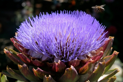 Artichoke Flower Coping with an Obsession over Globe Artichokes