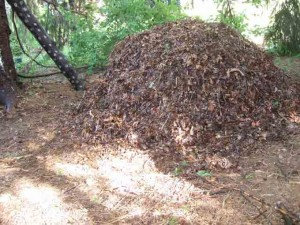 Blewitt Mushroom Pile 300x225 Blewitt Mushrooms for the Adventurous Gardener