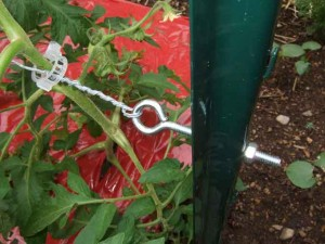 Tomato Trellis Setup 300x225 Providing Better Support for Tall Tomato Vines