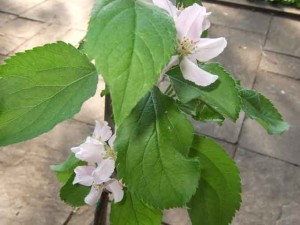 Potted Apple Tree 300x225 Grow an Orchard on the Patio or Balcony