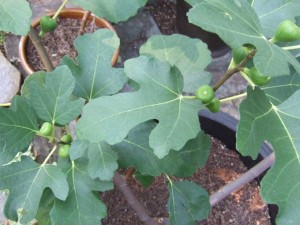 Young Fig Tree 300x225 Tips for Growing Fruit Trees in Containers