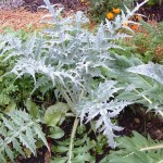 Artichoke Plant 150x150 Try these Edible Perennials in Your Garden