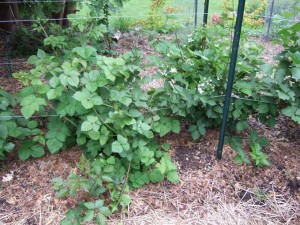 Blackberries 300x225 Opting for Perennial Plants in the Vegetable Garden