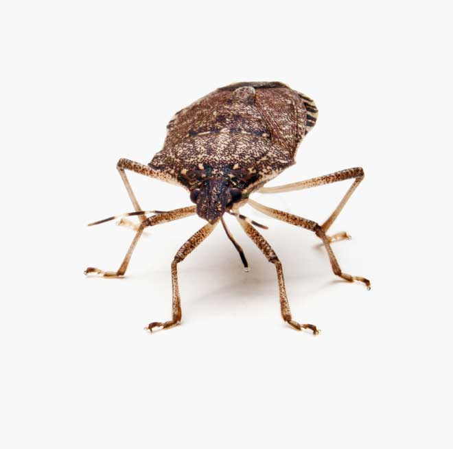 Warning Brown Marmorated Stink Bugs On The Veggie