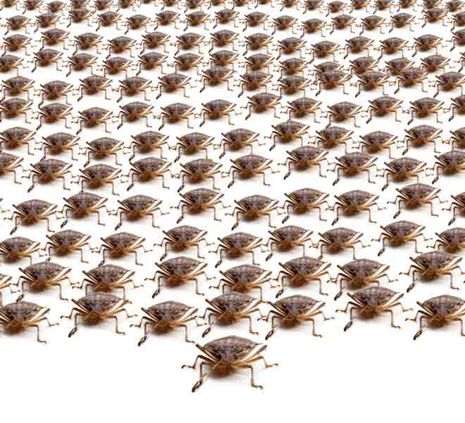 Stink Bug Army March of the Brown Marmorated Stink Bug