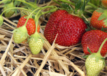 Strawberry Plant Grow Your Own Strawberries for a Decadent Treat