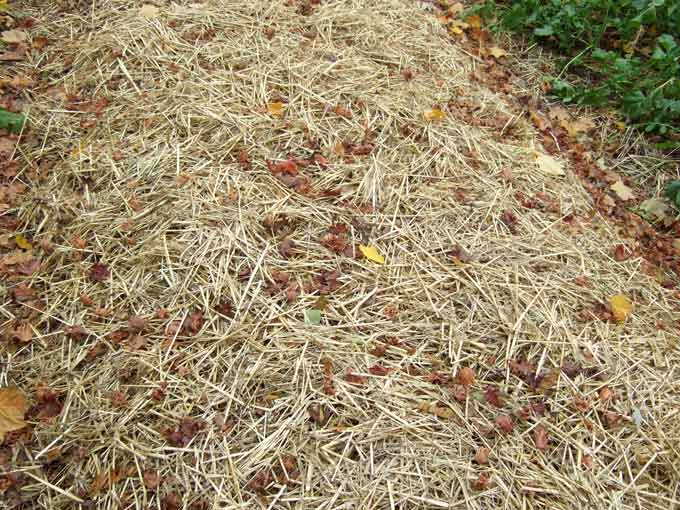 Straw Mulch Blanketing the Garden for a Long Winters Slumber