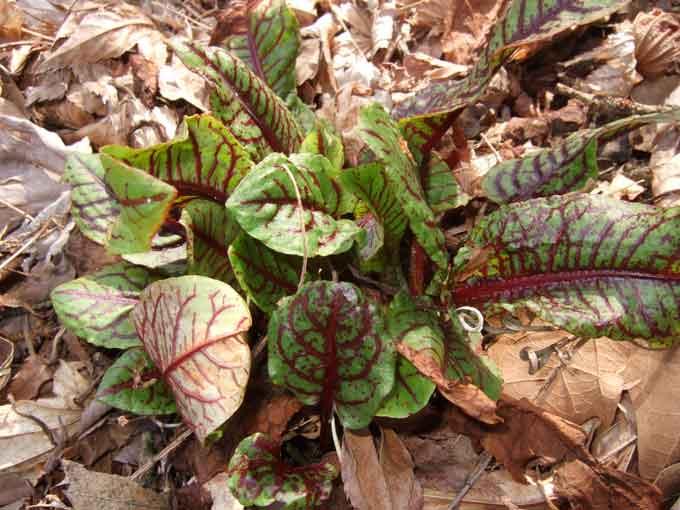Sorrel Plants that Arent Content to Wait for Spring