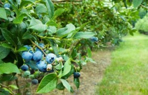 Blueberry Bushes 300x193 Creative Uses for Blueberry Plants Around the House