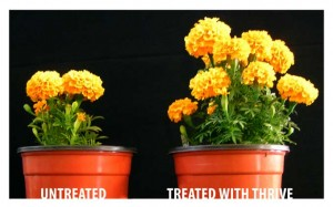 Chrysanthemums Right Trea 300x187 Use THRIVE to Promote a Healthier Soil and Garden