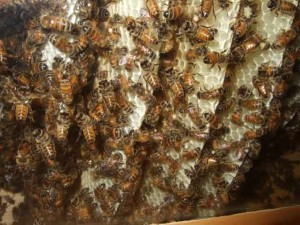 Inside the Hive 300x225 The Experiences of Backyard Beekeeping