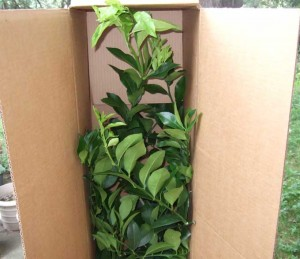 Boxed Citrus Plant 300x259 Citrus Fruits for the Northern Gardener