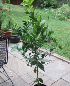 Meyer Lemon Tree 246x300 Citrus Fruits for the Northern Gardener