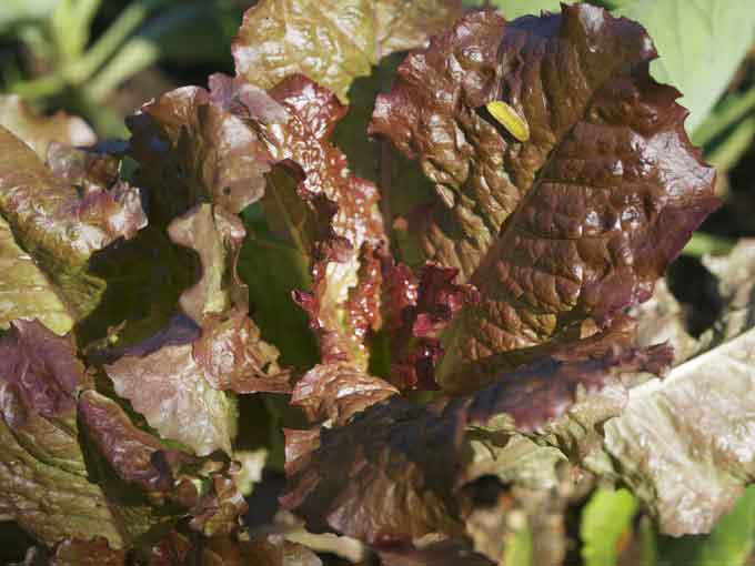 Red Leaf Lettuce Photos from the Fall Vegetable Garden
