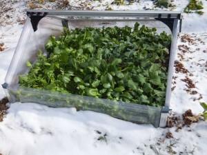 Winter Greens 300x225 Garden Log 2 29 12 – Farewell to Winter