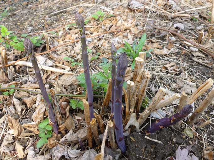 Purple Asparagus Spears