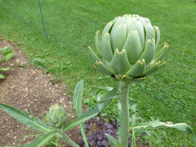 Artichoke Bud Look Whats Blooming Out in the Vegetable Garden
