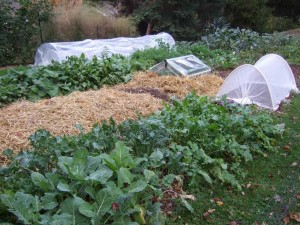 Fall Garden Beds 300x225 Plant Protection for Fall and Winter Vegetable Gardens
