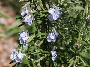Rosemary Flowers 300x225 Highlights from the Spring Vegetable Garden