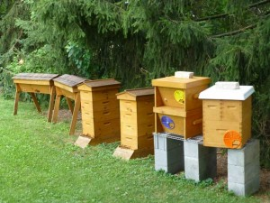 Backyard Garden Apiary 300x225 Backyard Beekeeping in the Veggie Gardening Tips Apiary
