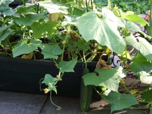 Container Cucumber 300x225 Growing Vegetables and Herbs in Containers