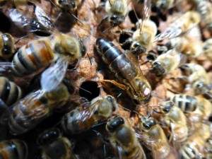 New Queen Bee 300x225 Backyard Beekeeping in the Veggie Gardening Tips Apiary