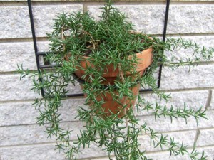Trailing Rosemary Plant 300x225 Growing Vegetables and Herbs in Containers