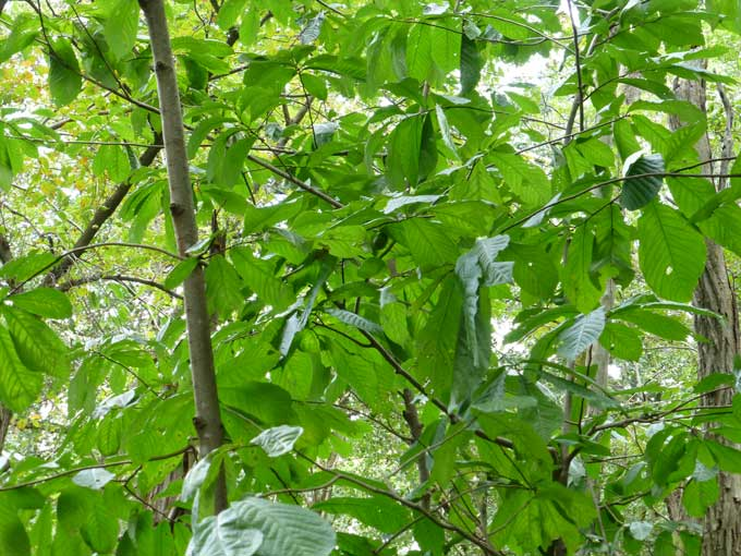Pawpaw Trees Foraging for Wild Pawpaw Fruits in Pennsylvania