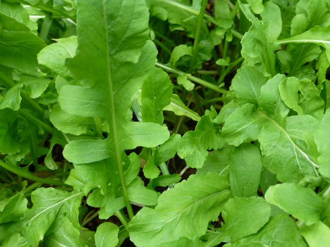 Arugula Leafy Greens take Center Stage in the Fall Garden