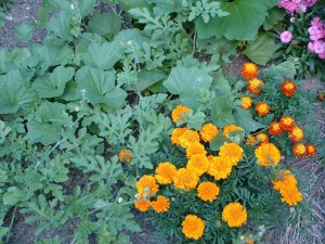 Marigolds in the Vegetable  300x225 Blueberries Love Wintergreen; Thoughts on Companion Planting
