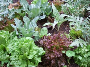 Mixed Vegetable Plants 300x225 Blueberries Love Wintergreen; Thoughts on Companion Planting