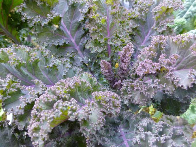Purple Kale Leafy Greens take Center Stage in the Fall Garden