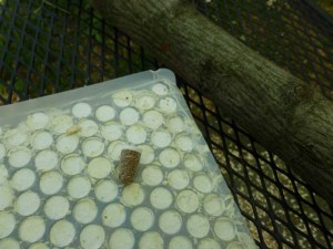 Thimble Spawn 300x225 Raising Gourmet Mushrooms in the Backyard Garden