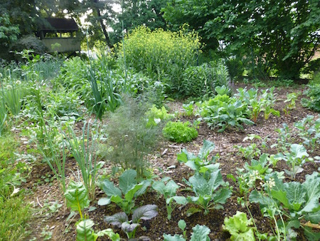 Growing edible perennials in the backyard vegetable garden veggie many of the perennial vegetables are productive and fruitful and will gradually spread over time to ensure that they renew themselves and provide new mightylinksfo