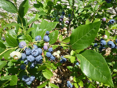 blueberries always make my list of great fruits for the home garden they are productive and attractive adding color to landscape through every season of - Trees For Home Garden