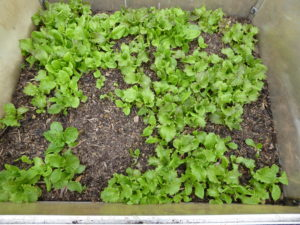Winter Lettuce in Cold Frame